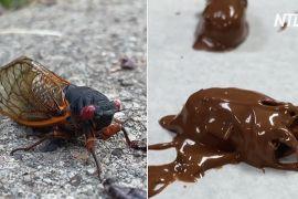 Цикади в шоколаді: кондитерська в США скористалася появою мільярдів комах