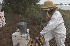 Спеціальні вулики в Австралії відстежують бджіл, заражених небезпечним паразитом