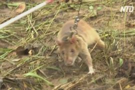 Армія щурів-саперів у Камбоджі поповнилася 20-ма новобранцями