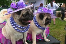 У Вестмінстерському дог-шоу бере участь 2500 собак із 50 штатів США