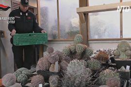 Італія повернула Чилі сотні кактусів, вивезених контрабандою