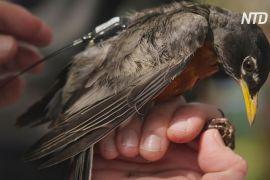 GPS-трекери для дроздів: біологи вивчають причини міграції співочих птахів