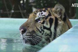 До тайського «Королівства тигрів» повертаються відвідувачі