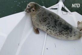 Тюлень став учасником парусної регати, забравшись на тримаран