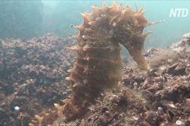Колонію морських коників помітили в забрудненій грецькій лагуні