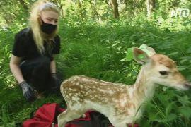 Спіймати оленя: у дублінському парку волонтери вимірюють тварин