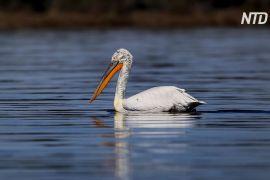 В Албанії відновлюють популяцію кучерявих пеліканів