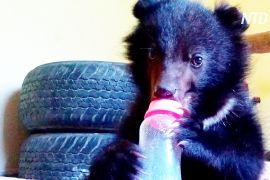 Пакистанські лісничі готують врятованого ведмедика до життя на волі