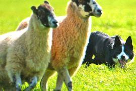Як службові собаки «випускають пару» на австралійській фермі