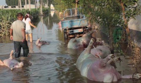 Наводнение в Китае: фермеры не знают, куда девать туши утонувших свиней
