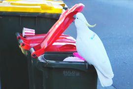 Дослідження: какаду навчають один одного відкривати сміттєві баки