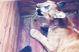 Пума, мавпи й черепахи: 100 тварин випустили в дику природу Колумбії