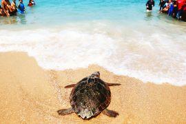 Як звільнена черепаха добігла до моря