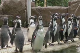 Зарядка для пінгвінів: як розважають тварин у тайському зоопарку
