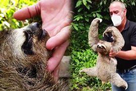 Венесуельське подружжя перетворило свій дім на притулок для лінивців