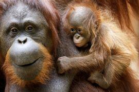 Рідкісний примат: у зоопарку радіють першому в цьому році орангутангу
