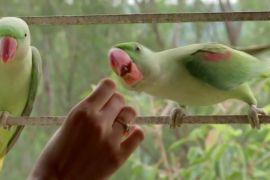 До індійки щодня прилітає три десятки папуг