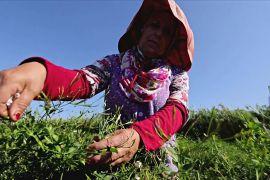 Де вирощують жасмин для знаменитих парфумів «Chanel № 5»