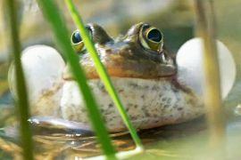 Північна жаба через 30 років повернулася до Норфолку