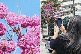 Цвітуть лише шість днів: у Ріо милуються квітками табебуй