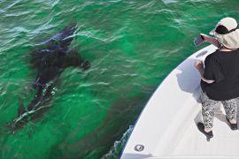 Подивитися на акулу: як із небезпеки зробили перевагу
