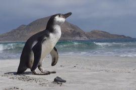 У Чилі врятували заблукалого пінгвіна Гумбольдта