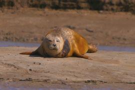 У гирлі Темзи підрахували тюленів