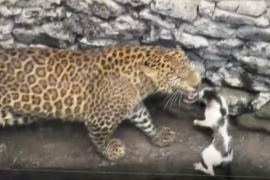 Леопард і кіт подружилися, упавши в колодязь в Індії