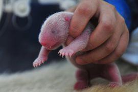 Панди-близнюки народилися в мадридському зоопарку