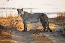 Не злякати лева: сафарі на безшумних авто організовують у Кенії