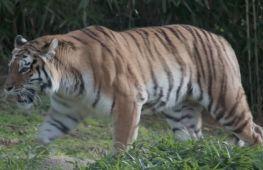 У зоопарку Вашингтона леви й тигри одужують після COVID