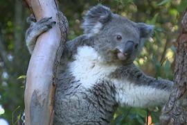 Третину коал втратила Австралія за три роки