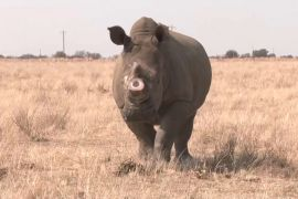 Рятувати носорогів, продаючи їхні роги, хоче заповідник у ПАР