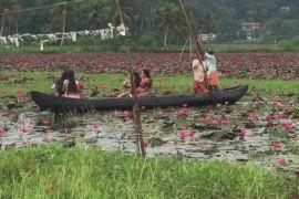 Поля квітучого латаття прикрасили Індію