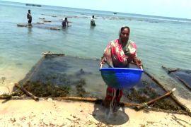 Індійські жінки вирощують морські водорості й добре заробляють