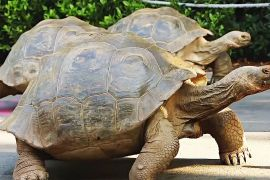 Забіг галапагоських черепах влаштували в Лондонському зоопарку