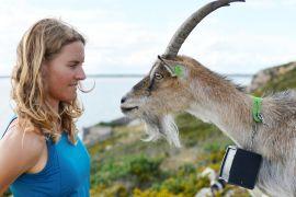 Як рідкісна порода кіз рятує пагорби Ірландії від пожеж