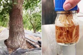 Вакцина з дерев: де вирощують унікальний засіб захисту від COVID