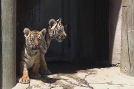 Бенгальські тигренята стали зірками зоопарку в Мексиці
