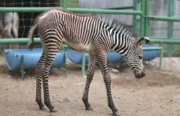 Дитинча зебри Греві дебютує в зоопарку на півночі Мексики