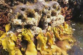 «Живі морські стіни» повертають біорізноманіття в гавань Сіднея