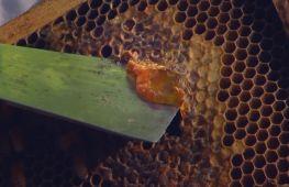 Захистити «шкіряний» мед хоче Австралія